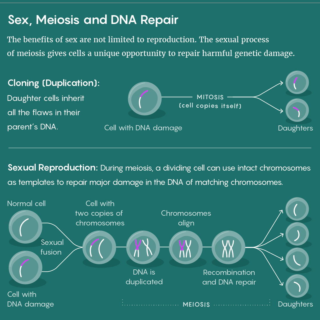A figure that shows how the stage of sexual reproduction called meiosis allows repairs to damaged DNA.
