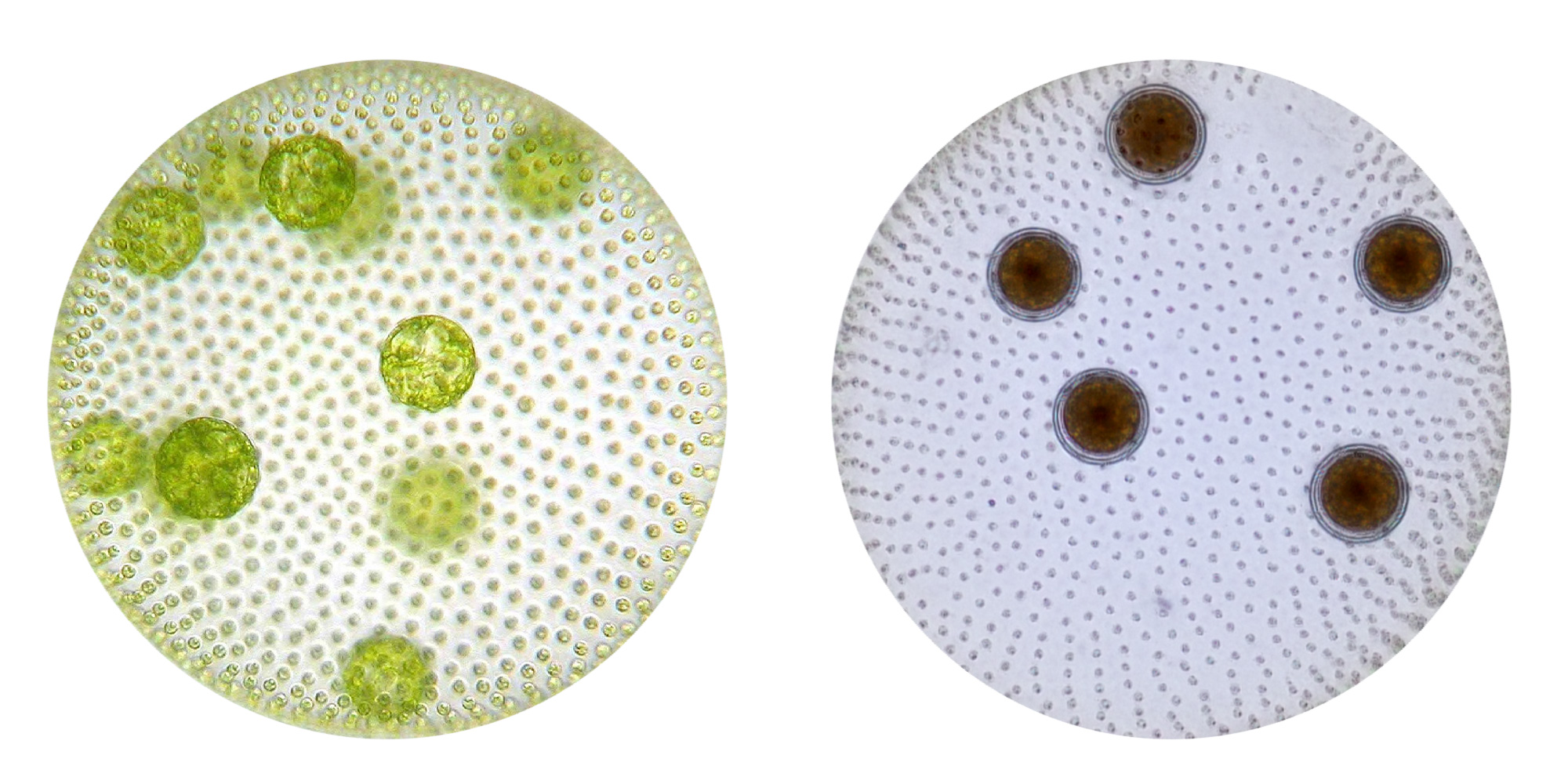 Side-by-side photographs of Volvox colonies in two different life stages. Both are green spherical balls of cells, but with differences in the appearance of their germ cells.