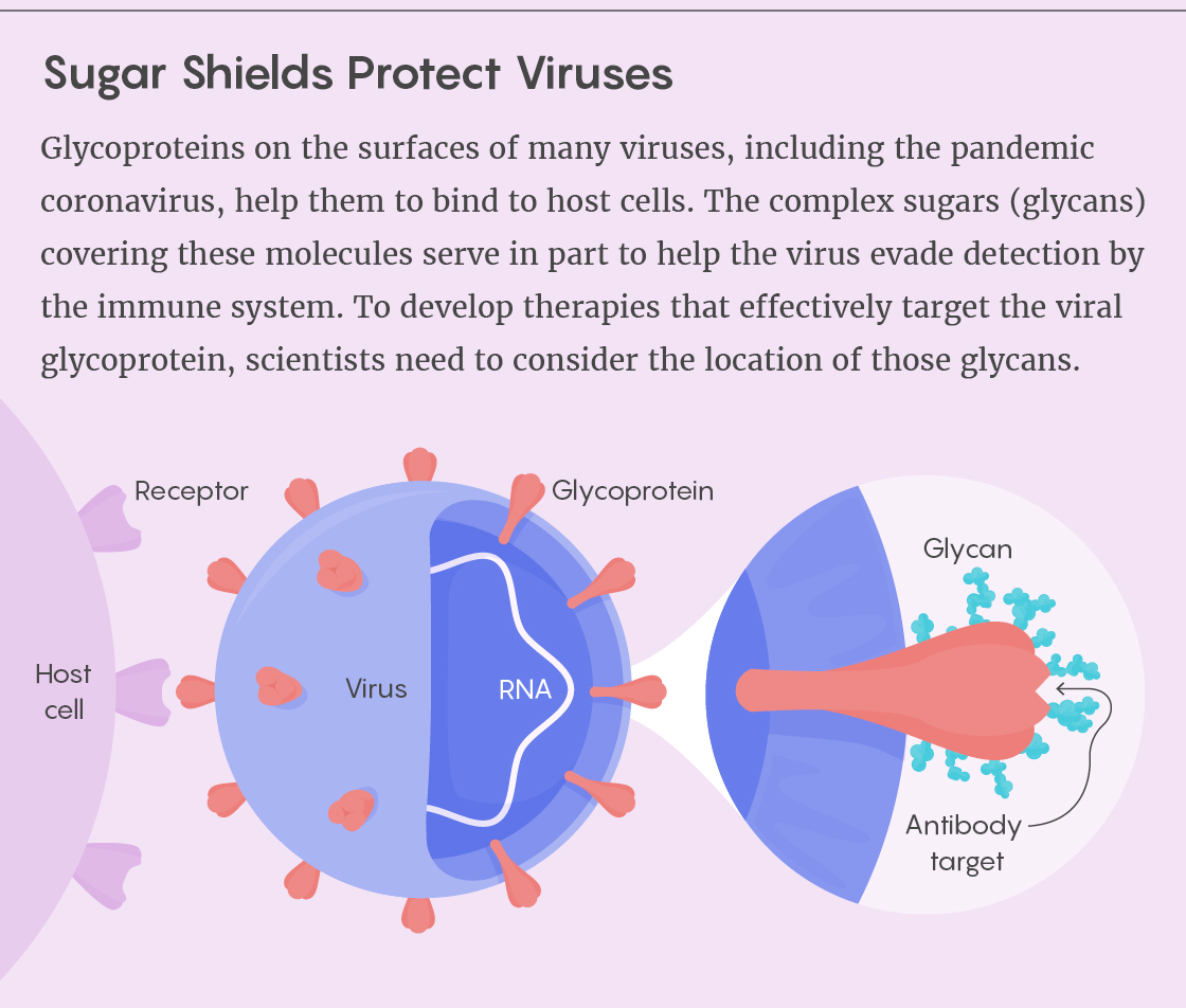 How glycans protect viral proteins.