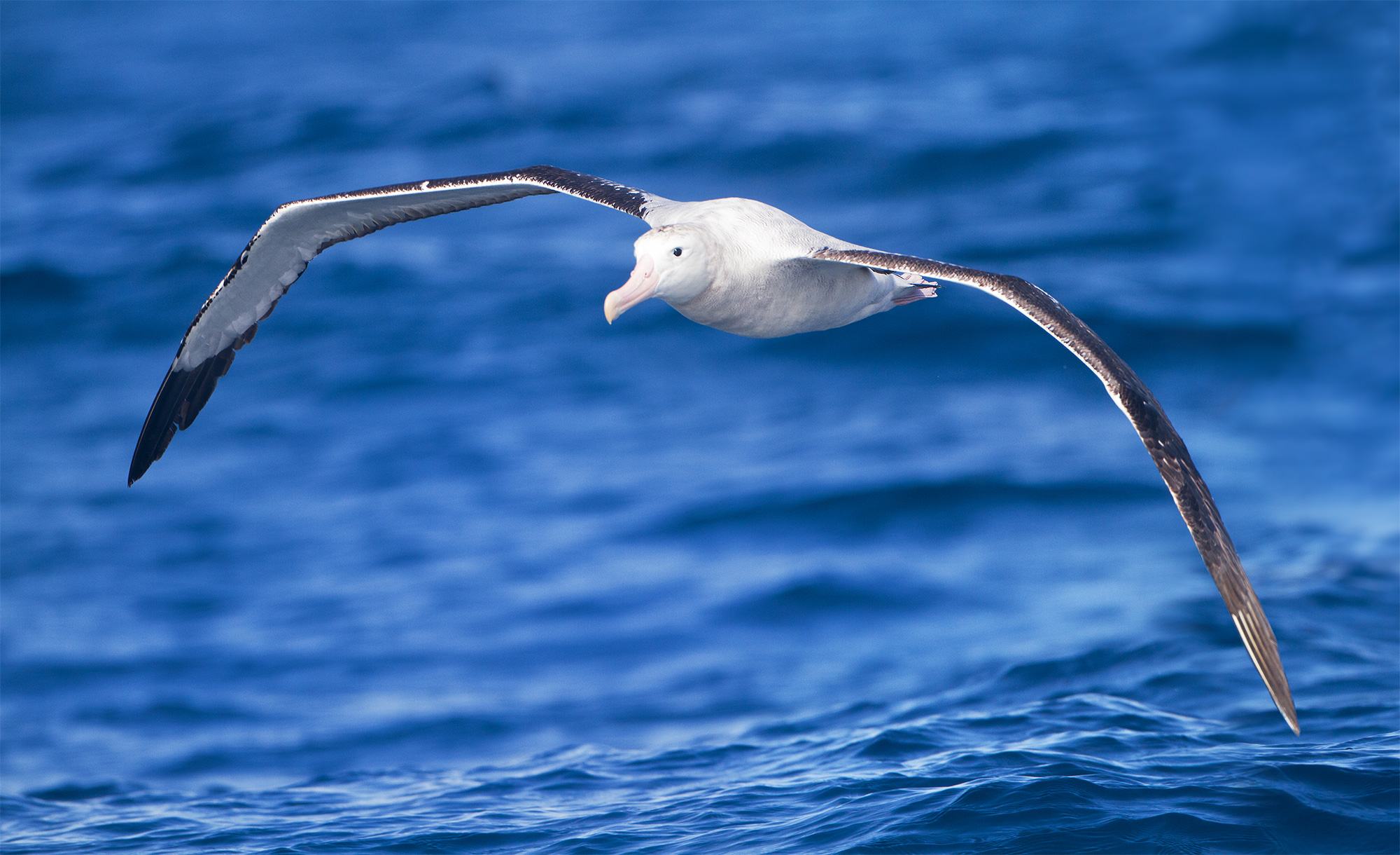Photo of albatross in flight.