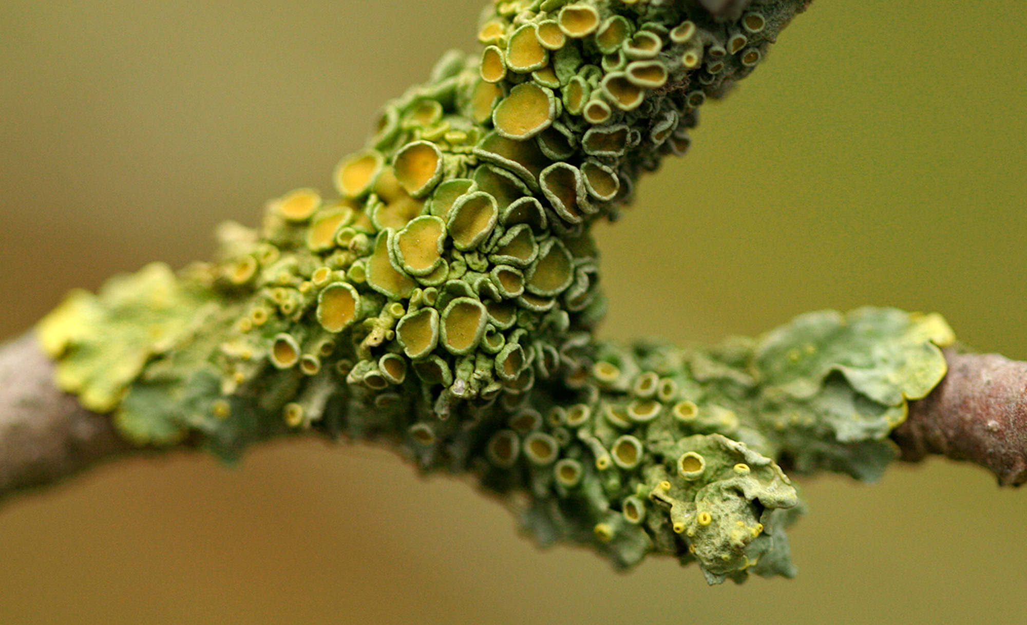 Lichens growing on a branch.