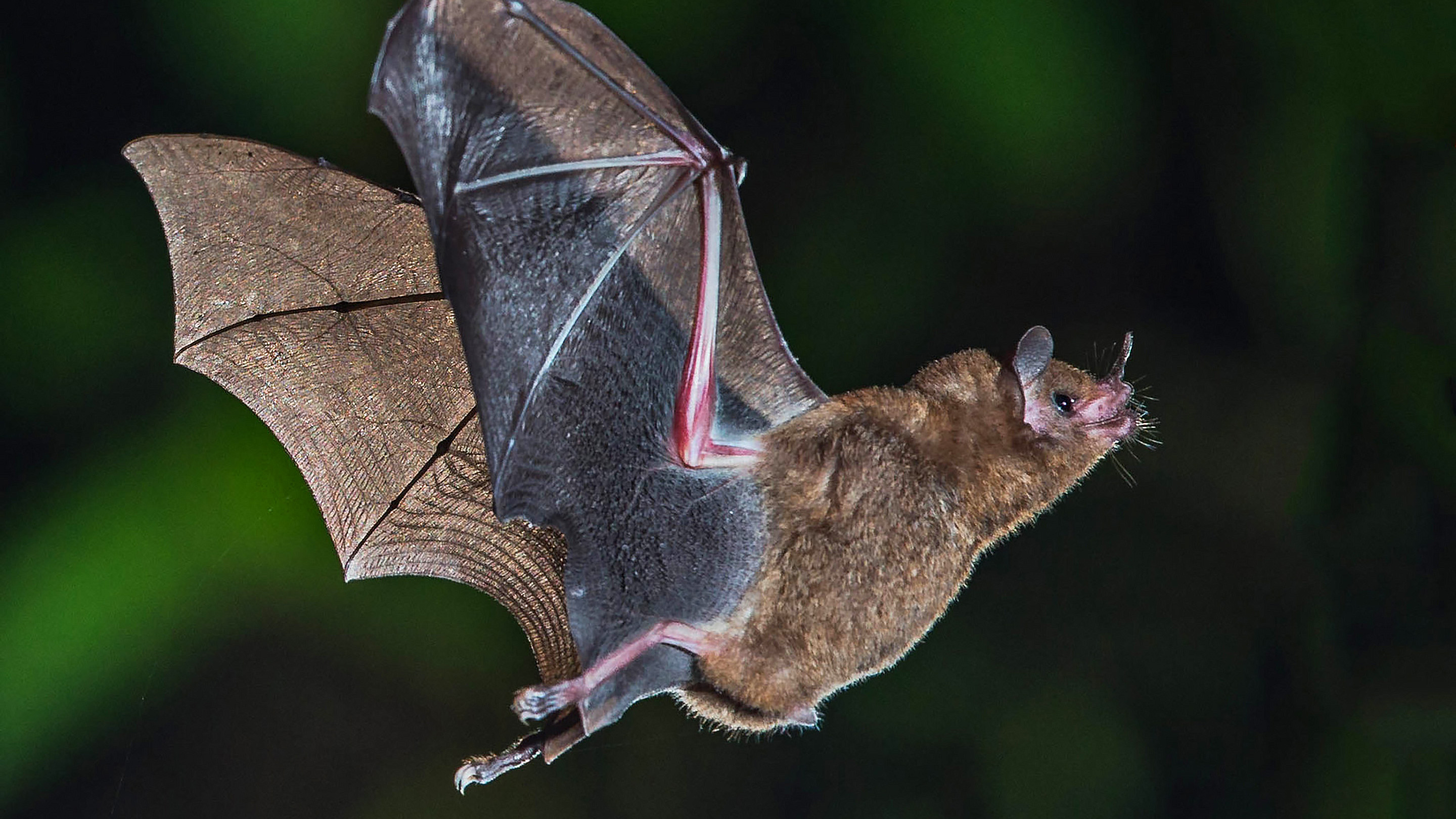 Photograph of a bat in flight.