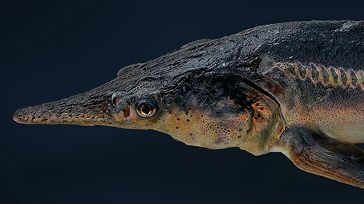 Photo of one of the Russian sturgeon-paddlefish hybrids called sturddlefish.
