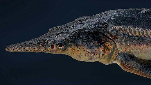 Photo of one of the Russian sturgeon-paddlefish hybrids called sturddlefish.