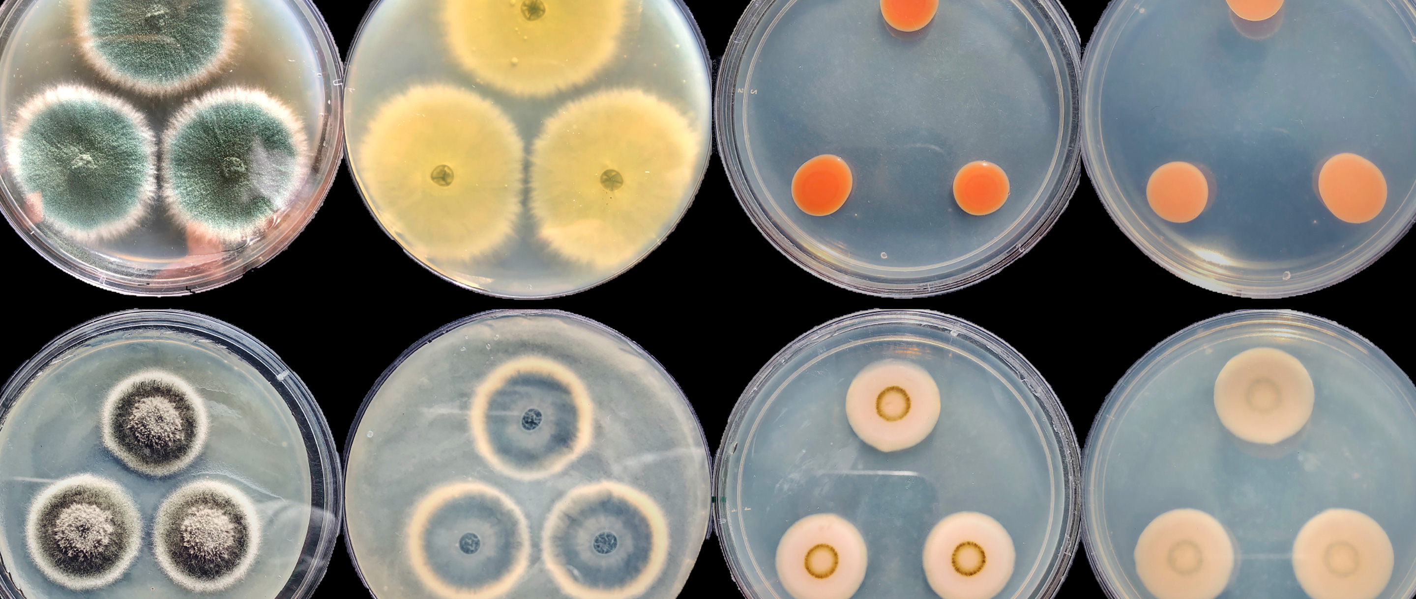 Photo of 12 petri dishes holding brightly colored fungi.