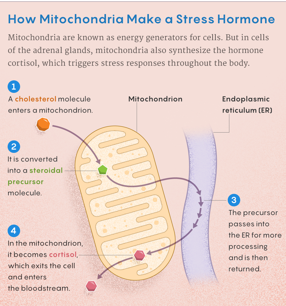 Figure that describes how mitochondria make cortisol.