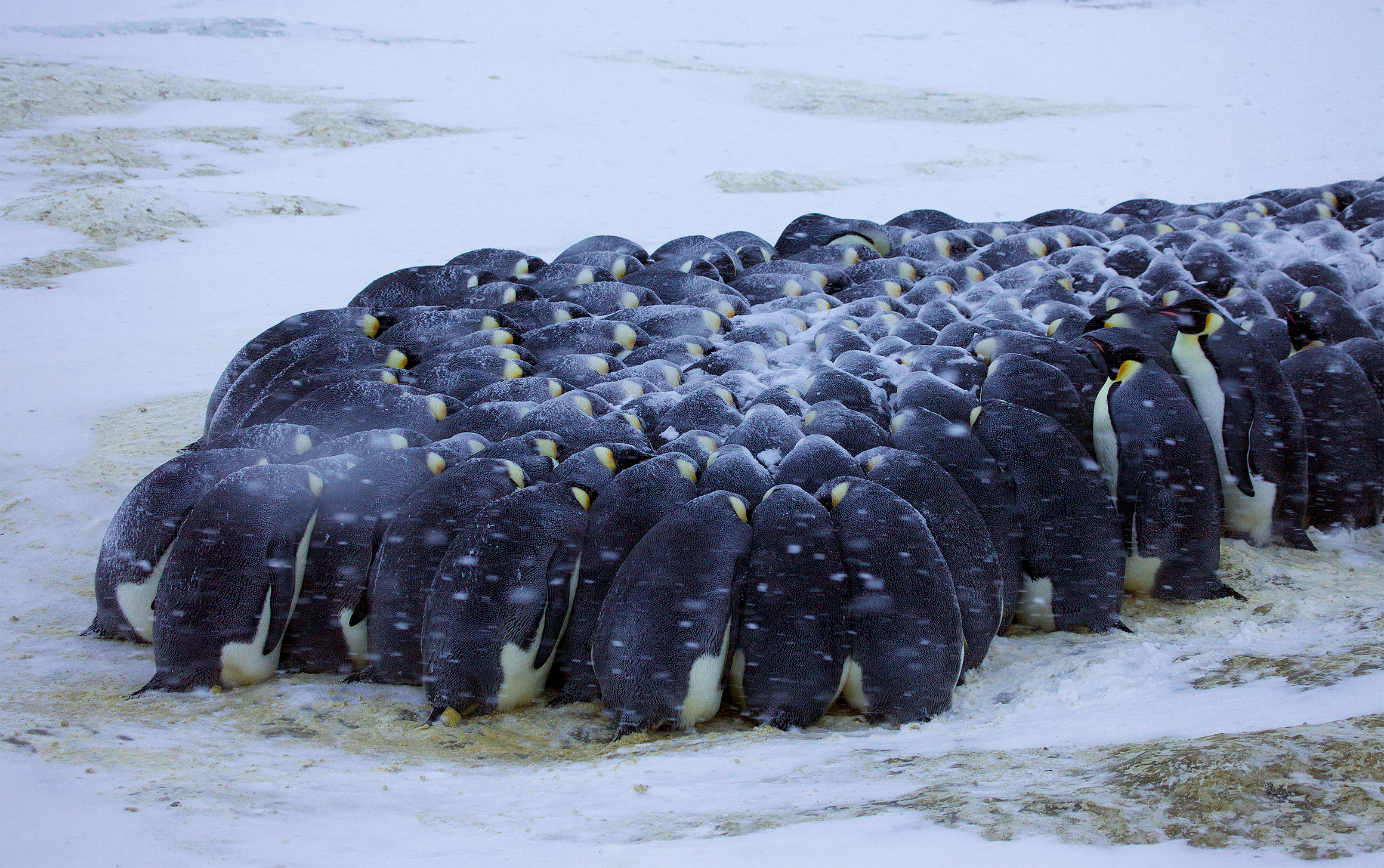 Photo of emperor penguins huddling together for warmth in snowy terrain