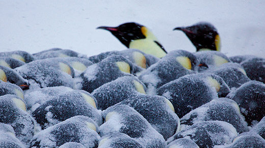Photo of emperor penguins huddling together for warmth, with two sticking their heads out