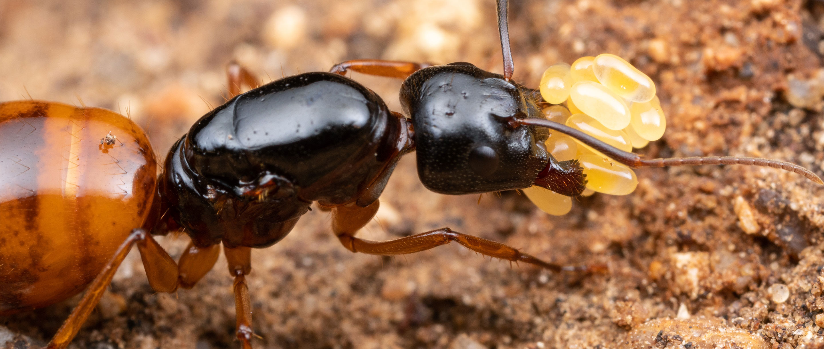 Close-up photo of a carpenter ant queen carrying eggs.