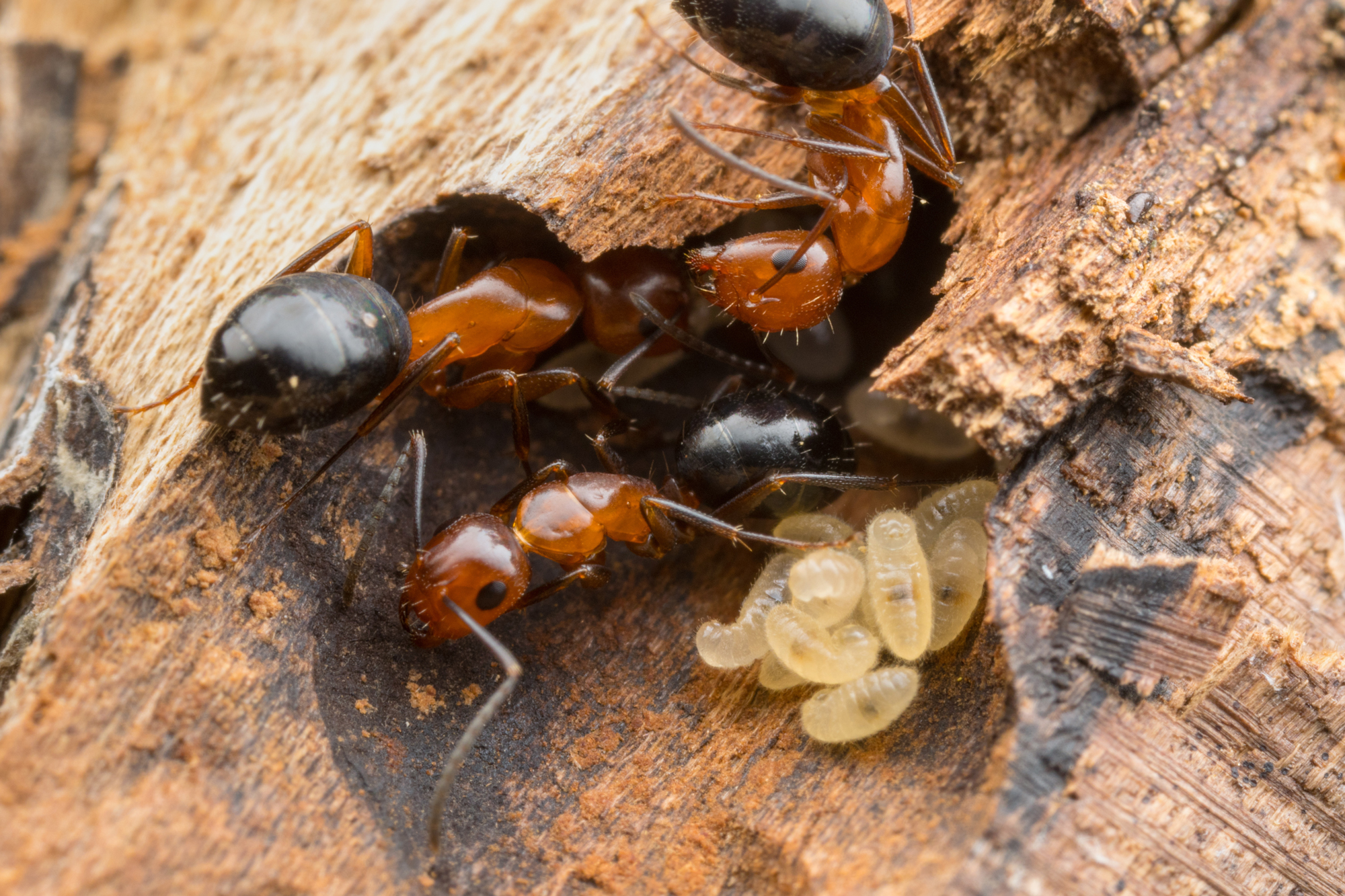 Photo of carpenter ants with eggs on a rotting piece of wood.