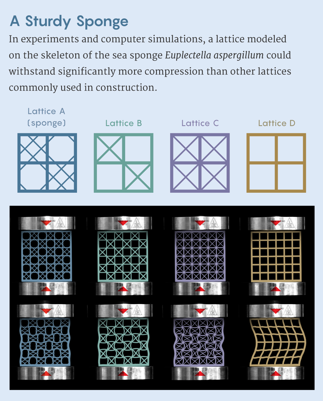 Infografía que muestra cuatro celosías diferentes, incluida una modelada sobre la esponja Euplectella aspergillum, que se deforma por compresión.