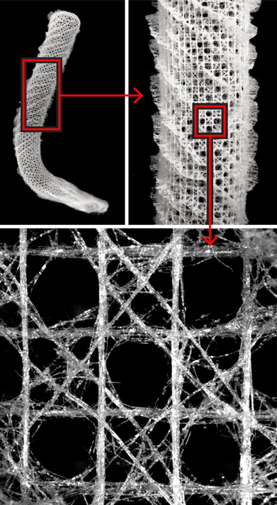 Foto que muestra el sistema esquelético completo de la canasta de flores de Venus y un recuadro que muestra una parte ampliada del esqueleto.
