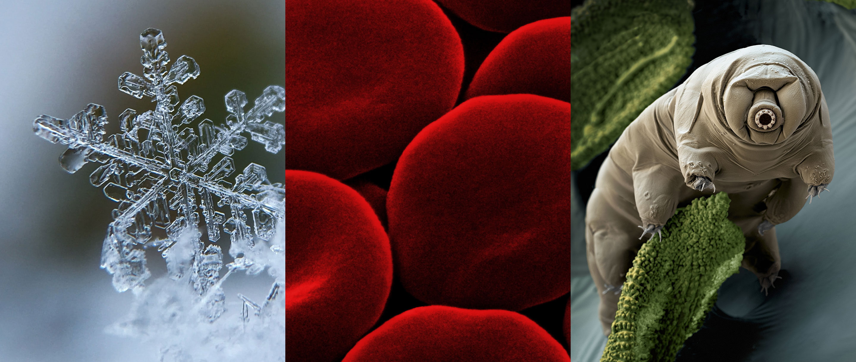 Three images showing highly magnified images of a snowflake, red blood cells and a tardigrade.