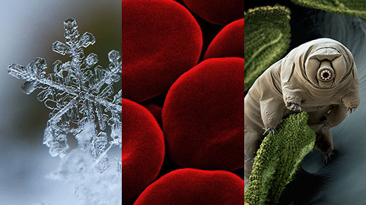 Alt text caption: Three images showing highly magnified images of a snowflake, red blood cells and a tardigrade.