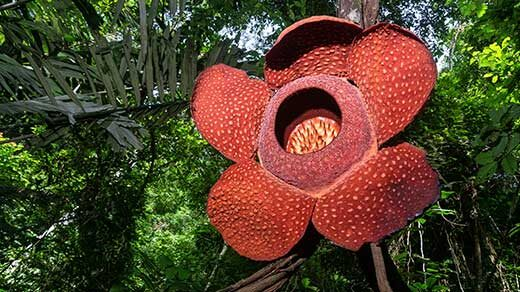 Photo of Rafflesia arnoldii growing on vines in Indonesian forest.