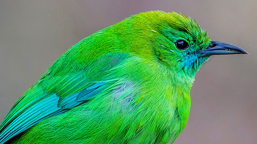 Photo of the blue-winged leafbird of Southeast Asia.