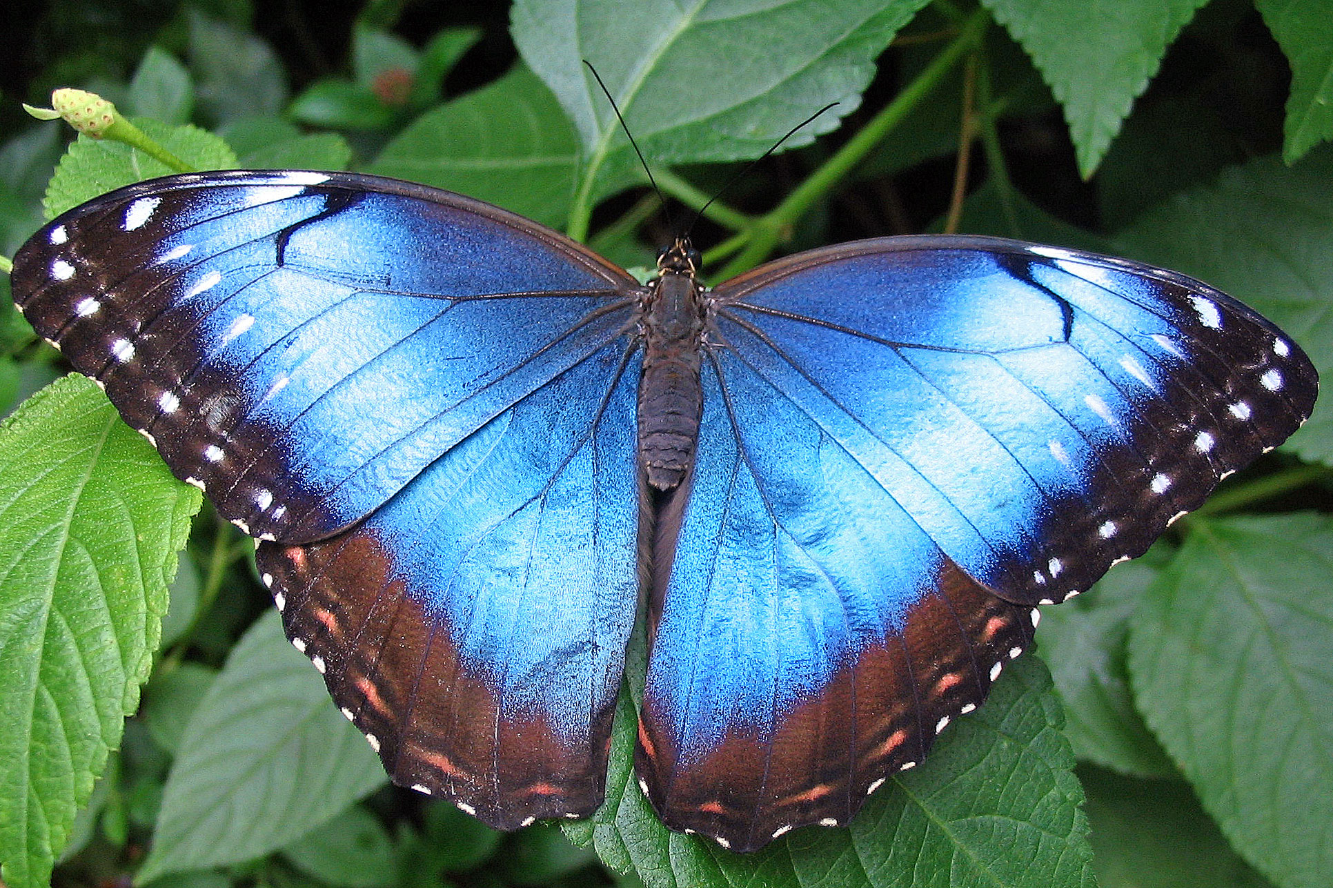 A pair of photographs showing a blue morpho butterfly and a close-up detail of its blue wing.