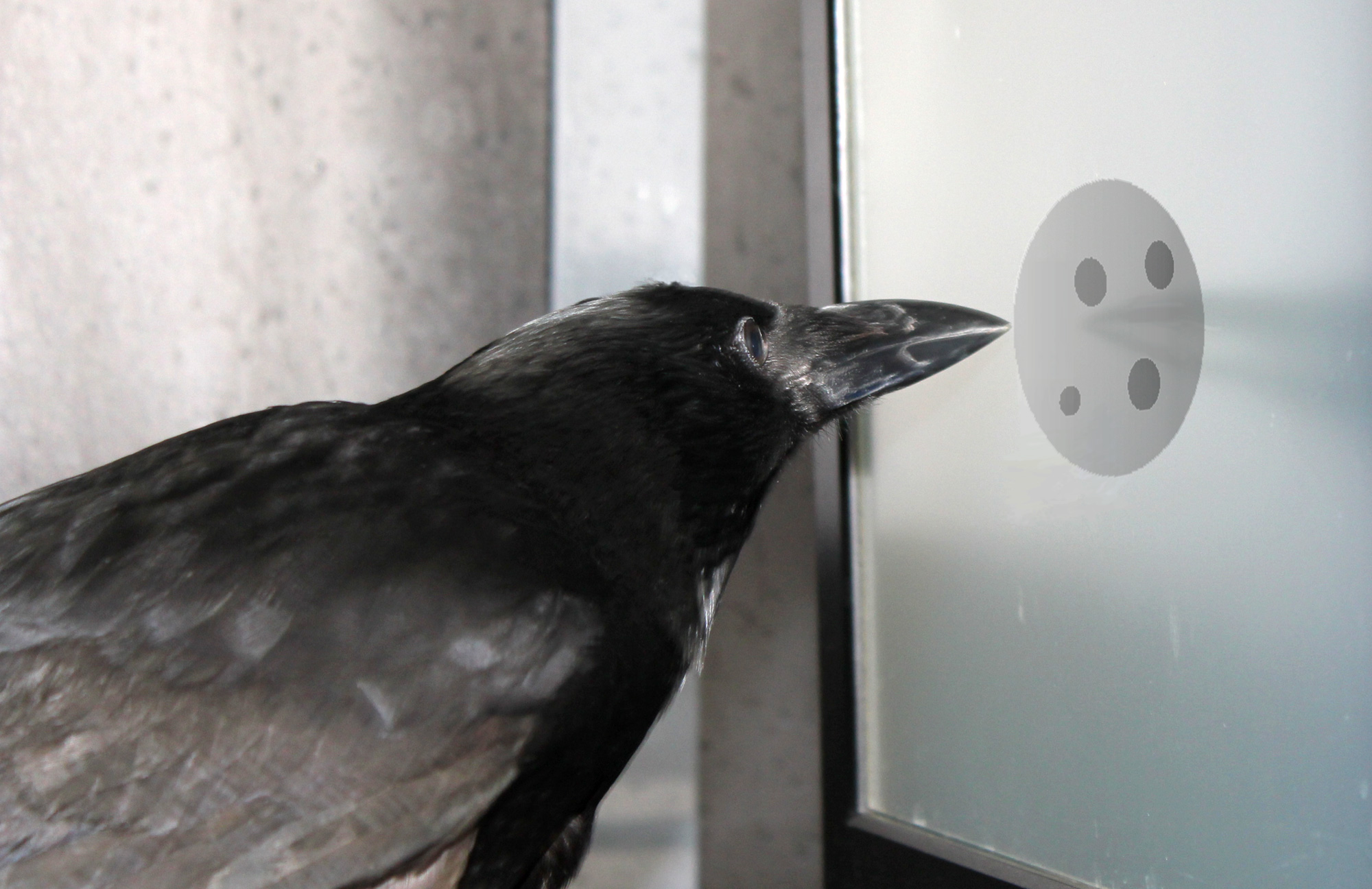 Photo from an experiment testing the counting abilities of crows, with a crow looking at a set of four dots.