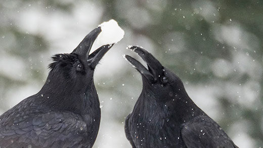 Photo of crows.
