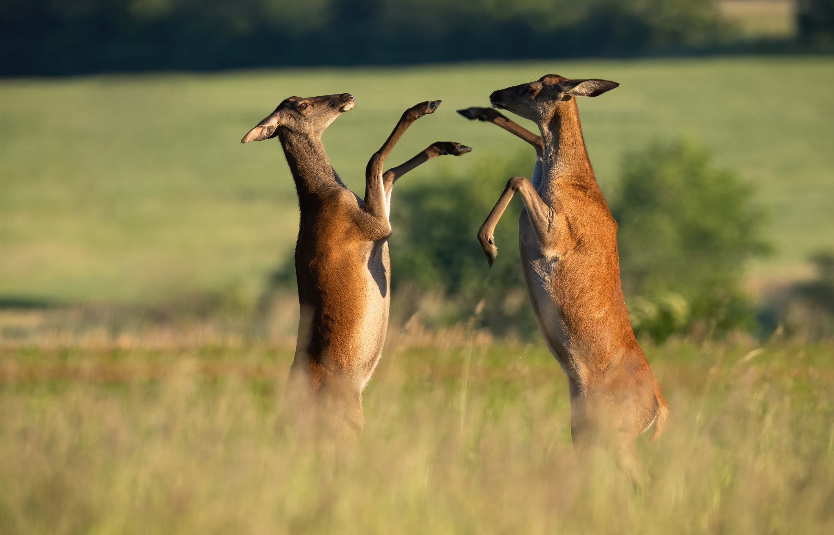 Photograph of two female red deer, fighting with their front hooves.