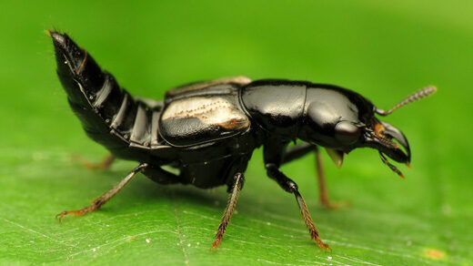 Photo of a rove beetle standing on a leaf and arching its abdomen.