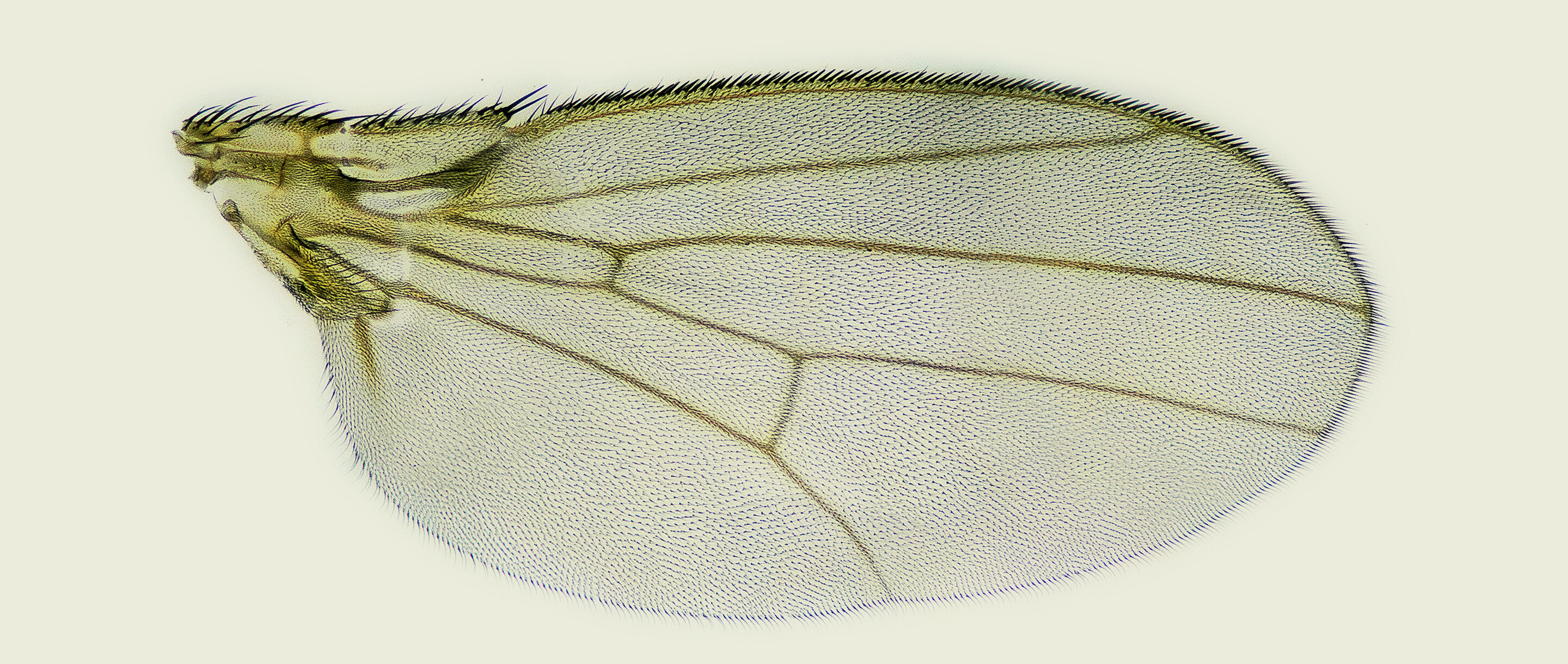 A detailed photo of a fruit fly wing in silhouette.