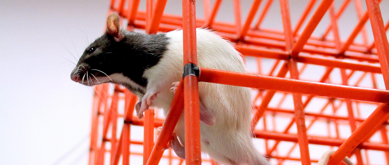 Photo of rat climbing through a lattice of thin rods.